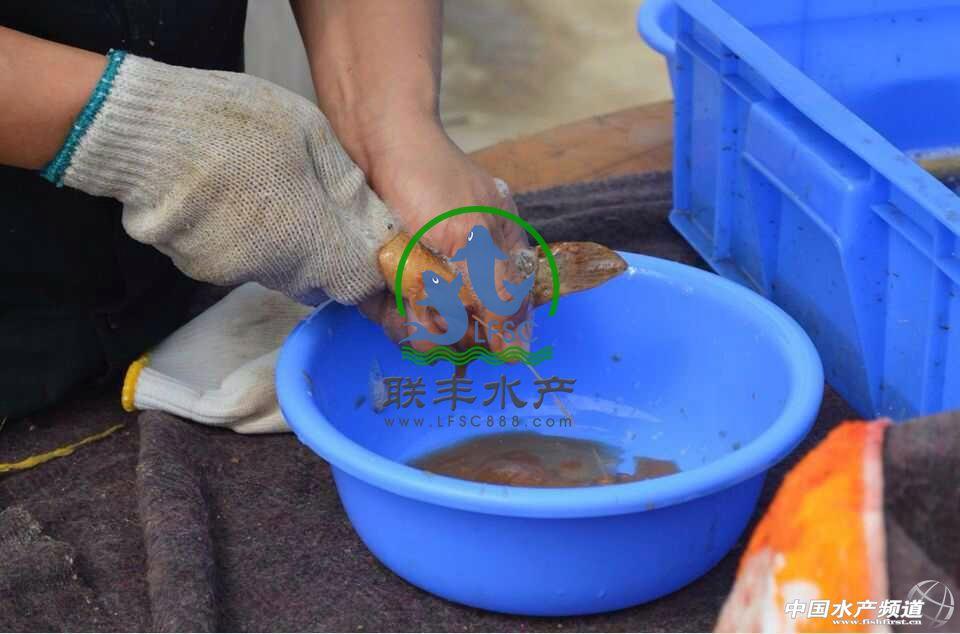 产首度公开台湾泥鳅养殖技术全过程 养殖人 Powered by Discuz
