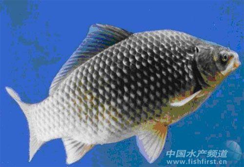 段以小型浮游动物为食