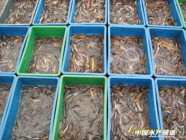 兴农泥鳅养殖基地2015年泥鳅苗预售