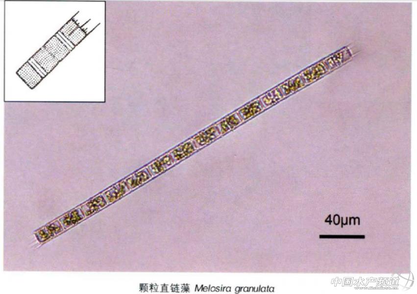 中国常见淡水浮游藻类图谱