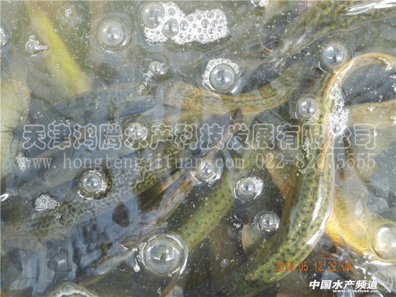 泥鳅孵化 养殖圈 Powered by Discuz