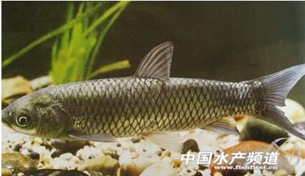 聚合帖24 | 步入夏季,慎防草鱼出血病!