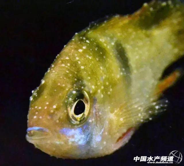 识库 高清鱼类寄生虫图片大汇总