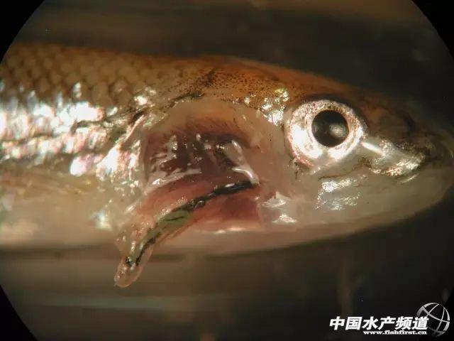 来了 高清鱼类寄生虫大汇总