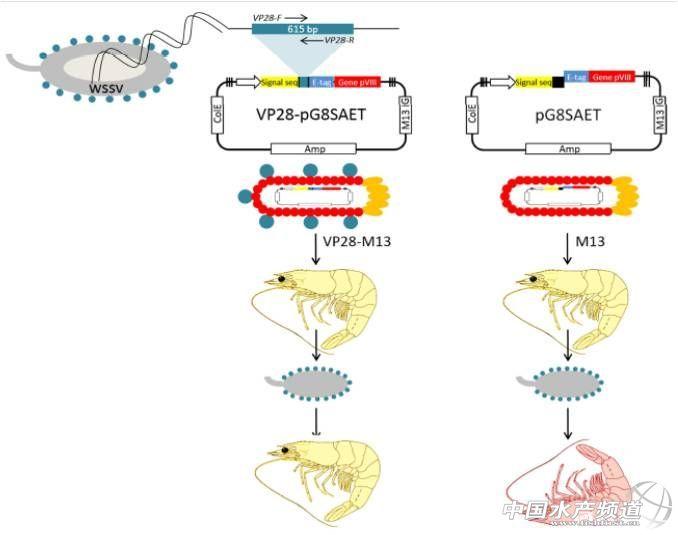 G.Sols-Lucero等设计了一对特异性引物,将WSSV的VP28基因序列扩增后插入到pG8SAET噬菌粒载体中。用此pG8SAET-VP28载体电转化大肠杆菌(Escherichia coli)TG1并挑取阳性转化子测序验证。采用M13K07辅助噬菌体感染上述重组大肠杆菌,大肠杆菌增殖并因噬菌体裂解后,从培养基中沉淀获得纯化的M13-VP28噬菌体。经ELISA验证,此噬菌体的外壳蛋白上表达有WSSV的VP28融合多肽,可作为针对WSSV VP28蛋白的疫苗进行免疫保护实验。实验中,给每尾南美白