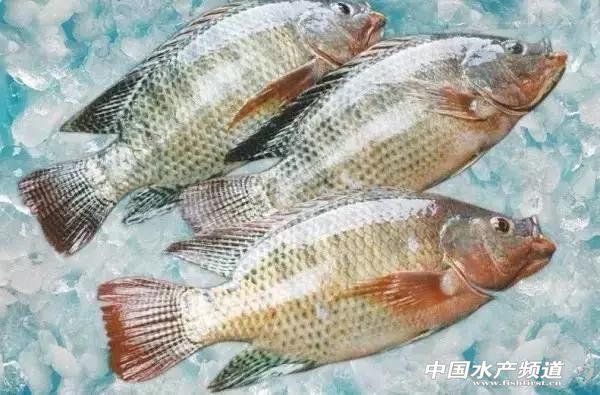 海南兩大型超市銷售的魚被檢出磺胺、孔雀石綠、氯霉素藥物超標!