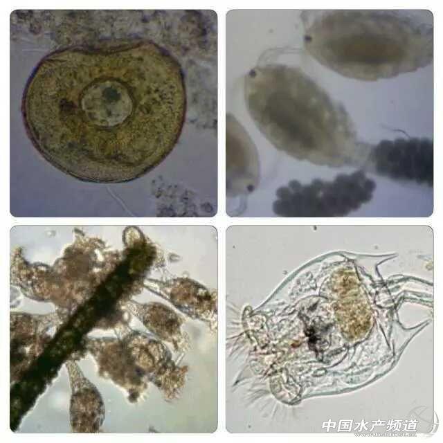 仿生学池塘所培养出的浮游动物