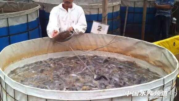 养殖鲶鱼最高产量每立方米可达到250公斤?