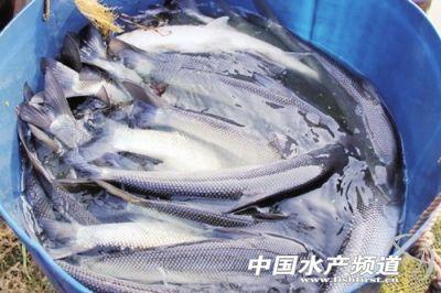 武漢又添一水產新品種,大鱗鲃繁育喜獲成功