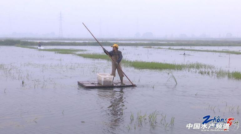常州首个千亩稻田养殖小龙虾示范基地迎来大丰收