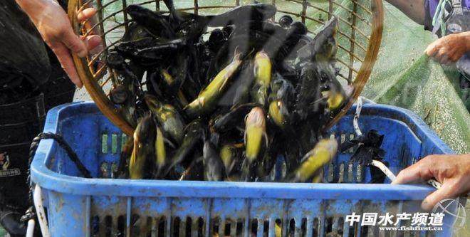 高溫致黃顙魚病害增加,魚價疲軟