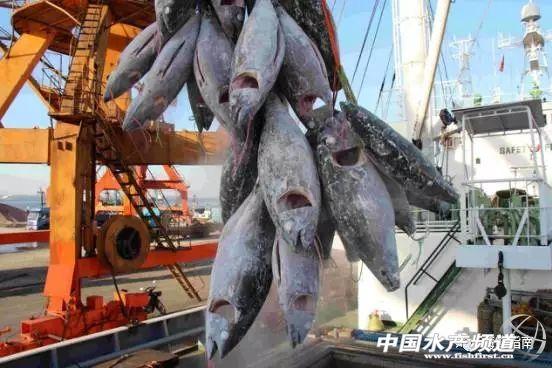 从捕捞运输到出品,金枪鱼加工全程实拍!