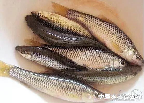 防止寄生虫、害虫、病鱼、杂鱼等泥人池塘