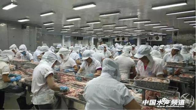 越南巴沙魚原料供需矛盾凸顯,過半工廠已停工!