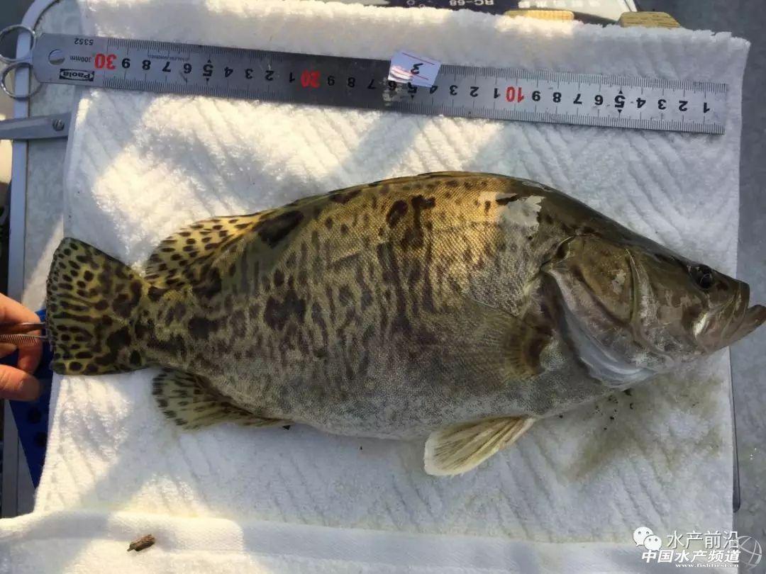 珠江水產研究所在鱖魚良種選育方面取得重大進展!