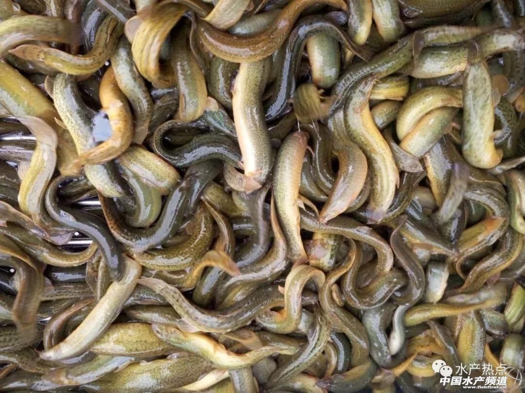 广东:大泥鳅难以和浙江,湖北竞争,小泥鳅受青睐