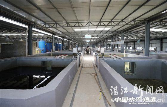 广东湛江雷州东里镇工厂化循环水养殖石斑鱼成