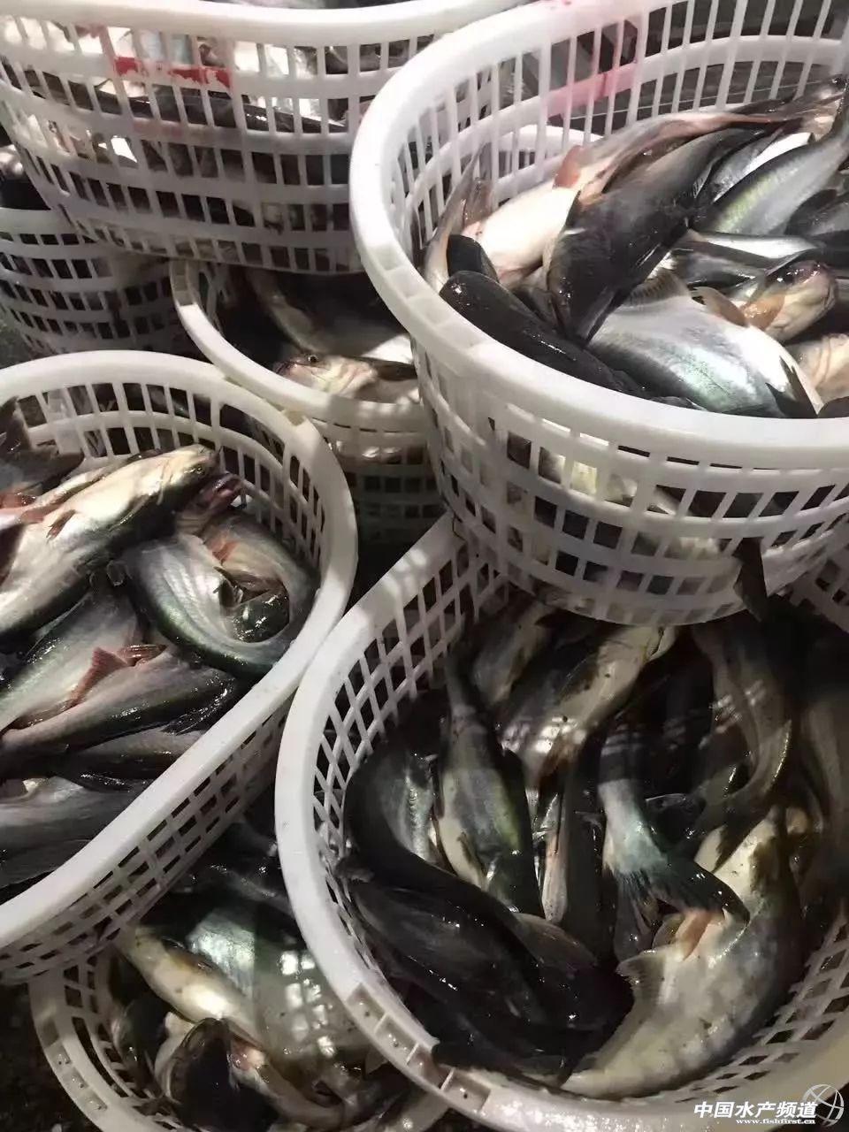 国内经销商收购的成鱼