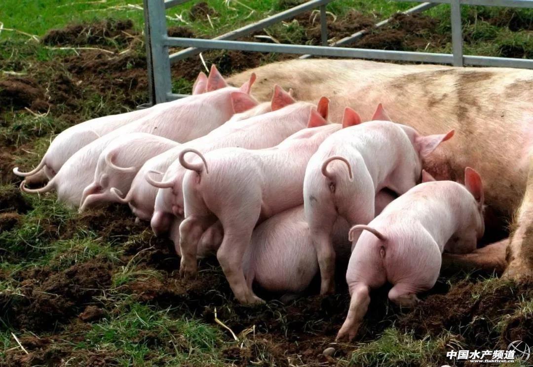 母猪饲养中营养很重要!低蛋白日粮和氨基酸的营养作用了解一下