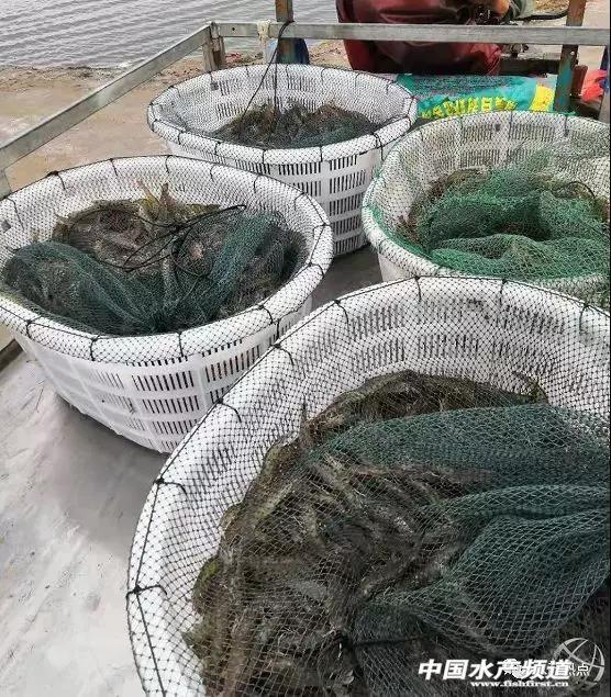 半年白虾养殖面积缩减25%,亏本高达70%,如东禁养区应该如何转型?