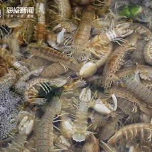 皮皮虾肉肥黄美引人馋!怎么挑、怎么剥、怎么吃……