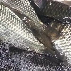 春季鲫鱼养殖如何提高产量