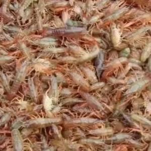 小龙虾养殖的几个误区