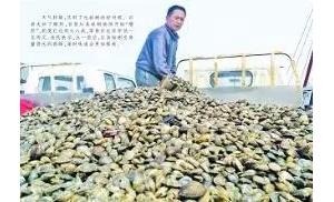 """红岛蛤蜊开始""""增肥"""",零售价比往年低一至两元"""