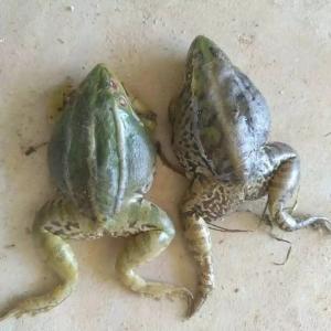 提高青蛙养殖存活率你需要做到以下几点