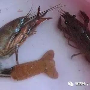 水位影响小龙虾正常脱壳,什么水位最合适?