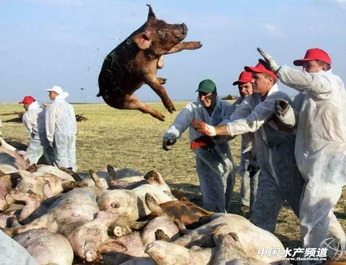数千万头猪的葬礼已经发生!这一次,我们需要你帮助,让悲剧不再重演!