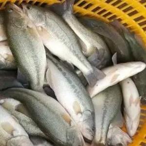 這(zhe)條(tiao)魚又漲價了!掌(zhang)握了它的養殖技術賺錢(qian)快人一步!