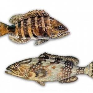 我国石斑鱼养殖疾病的研究历程